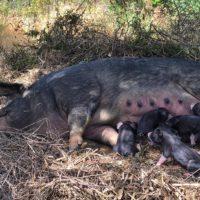 Peggy et ses bébés nés le 4 juin 2017