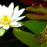 lis d'eau et grenouille