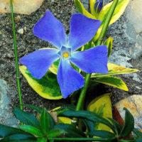 fleurs purpres